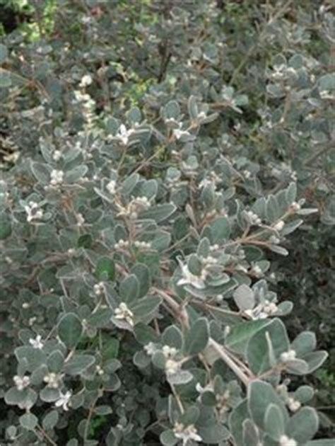 grey foliage plants australia garden grey foliage plants on lambs ear