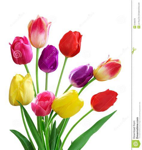 tulips royalty free stock photos image 5199478