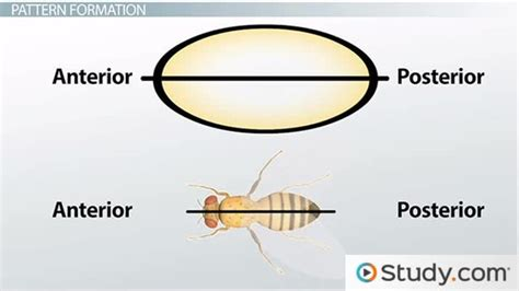 pattern formation during development drosophila development pattern formation of the body plan