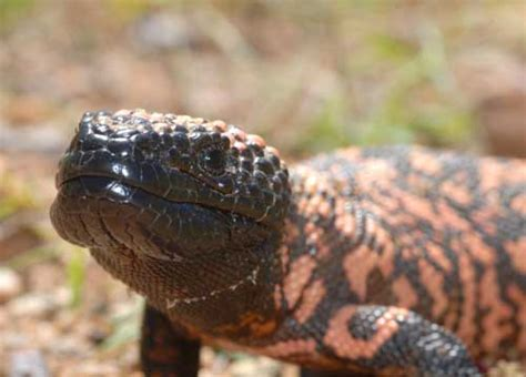mexican beaded lizard facts gila monsters and beaded lizards russ