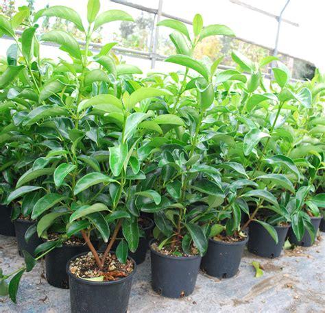 viburno in vaso piante ornamentali viburno lucido