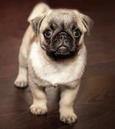 pug weight calculator pug breed information all our paws