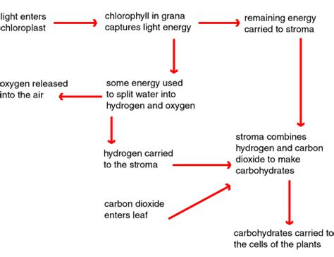 photosynthesis flowchart photosynthesis process step by step quotes