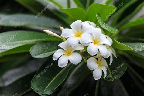immagini fiori tropicali bianchi e gialli fiori tropicali frangipani plumeria