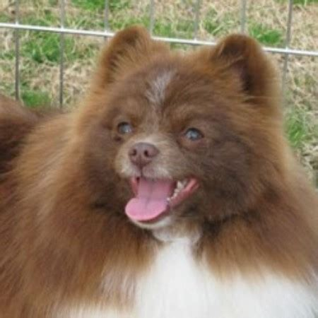 pomeranian rescue alabama special pomeranians pomeranian breeder in waverly alabama