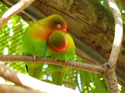 file agapornis fischeri world of birds 8a jpg wikimedia