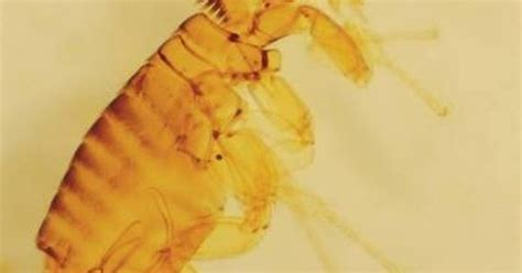 does pine sol kill bed bugs how to kill fleas with pine sol pine sol of and pine