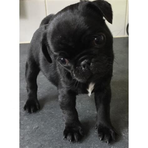 pug cardiff 2 pug puppies for sale one one cardiff cardiff pets4homes