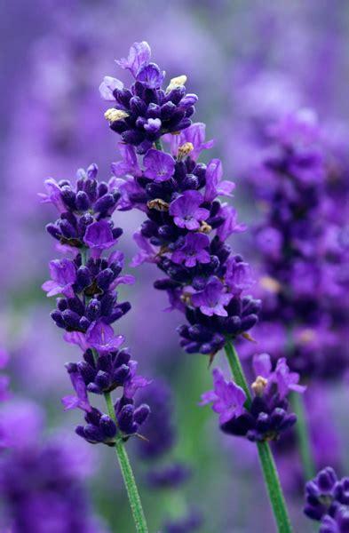 Lavender Flowers buy lavender lavandula angustifolia imperial gem delivery by crocus
