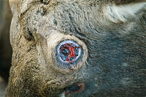 pin moose antler shed on