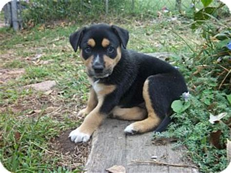 rottweiler mix pitbull puppies sale ready for adoption boxer rottweiler mix for breeds picture