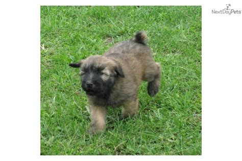 akcwheaton cut pin soft coated wheaten terrier grooming on pinterest