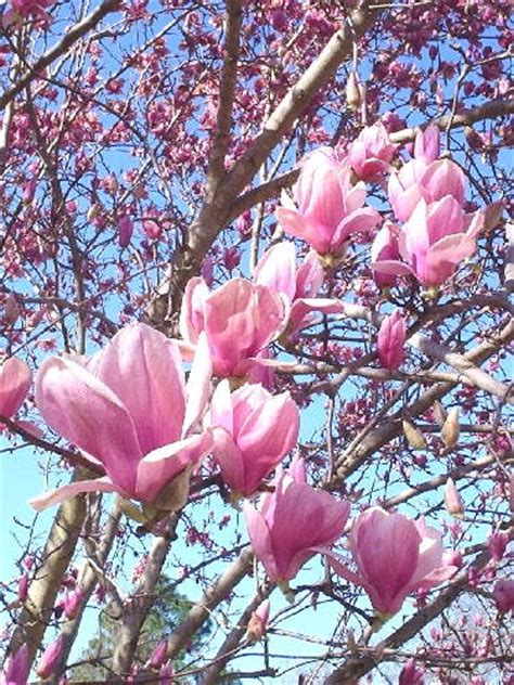 the ever so lovely tulip tree
