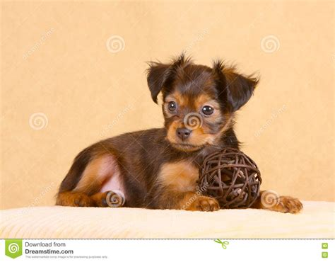 dogs with short floppy ears pocket puppy stock image cartoondealer com 139027