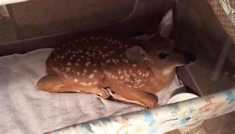 baby saves saves a baby deer from drowning bored panda