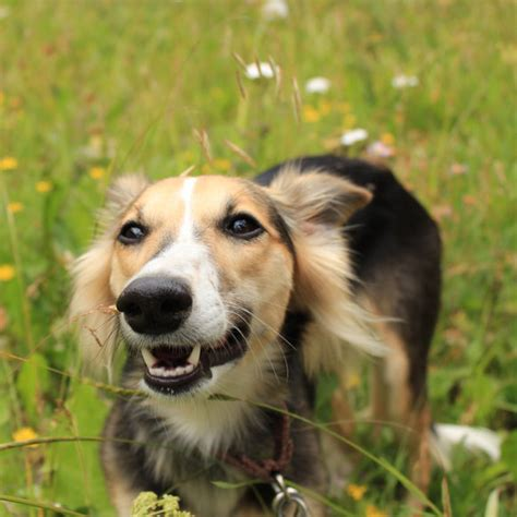 longhaired whippet breed guide learn