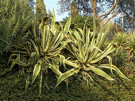 agave the garden of eaden
