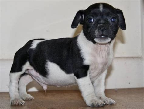 pugs for sale in sydney pin white pugs adoption image search results on