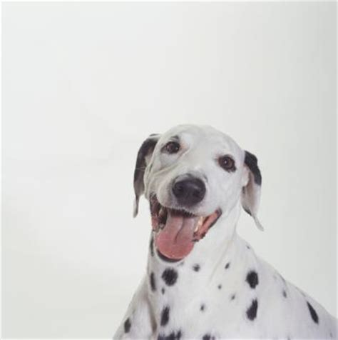 how do you a deaf how do you if a dalmatian is deaf pets