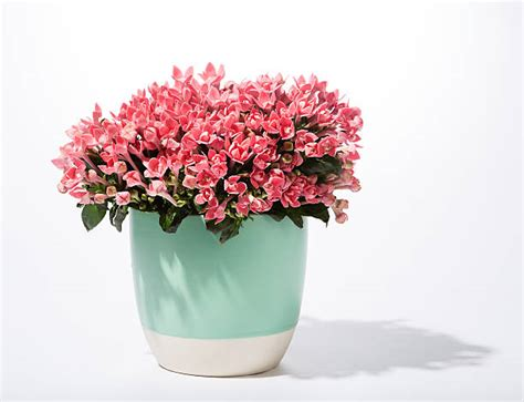 flower pot stock  pictures royalty  images