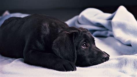 dogs wallpapers full hd 1080p best hd dogs wallpapers gg yan 可爱萌宠小狗拉布拉多高清图片桌面壁纸 动物壁纸 壁纸下载 美桌网