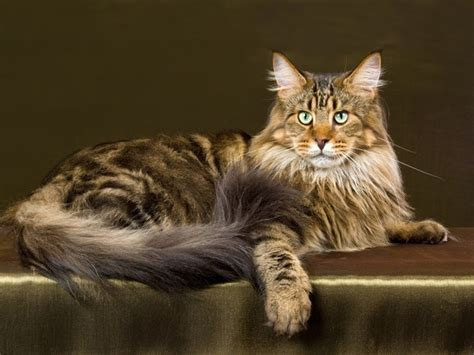 cat breed maine coon vetwest animal hospitals