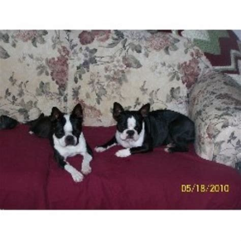 puppies for sale in northwest indiana brett s painted bostons boston terrier breeder in shoals indiana listing id 17438