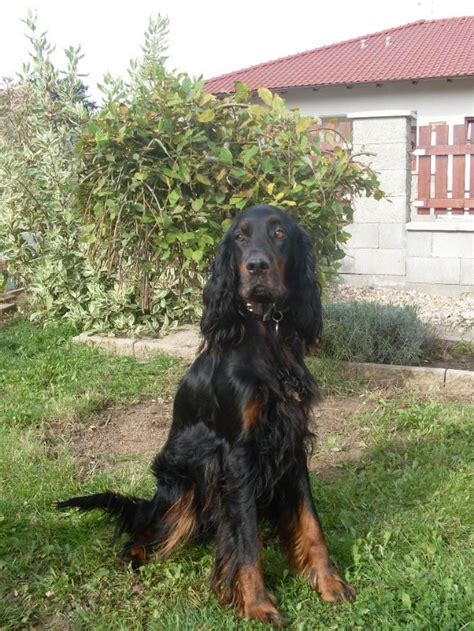 gordon setter hunting dogs for sale hunting dogs europe a superb litter of gordon setter