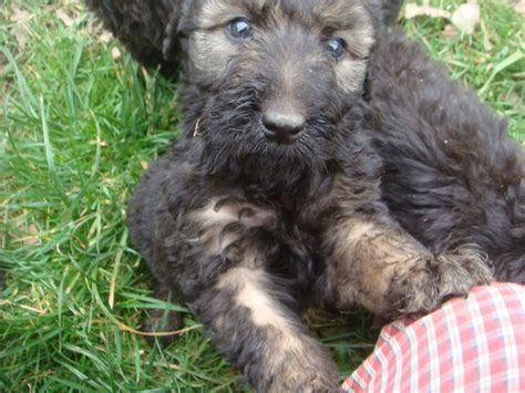 labradoodles puppies for sale ready now phantom labradoodle puppies for sale