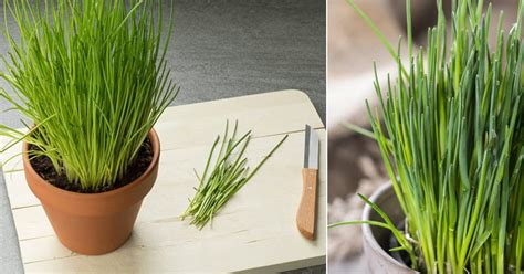 growing chives indoors year  balcony garden web