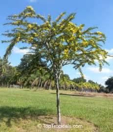 Small Tropical Plants - senna polyphylla cassia biflora cassia microphylla cassia polyphylla cassia tenuissima