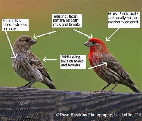 house finch vs purple finch tennessee watchable wildlife house vs purple finch