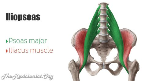 iliopsoas diagram how sitting causes anterior pelvic tilt back the