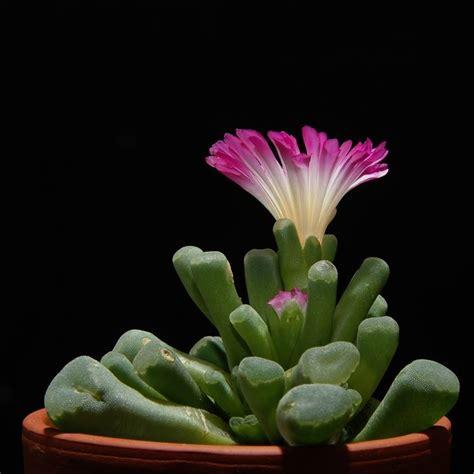 piante grasse da appartamento nomi e foto coltivare piante grasse in appartamento le piante grasse
