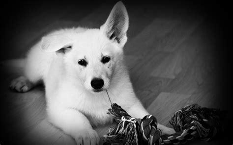 black and white dog wallpaper white shepherd black and white photo and wallpaper