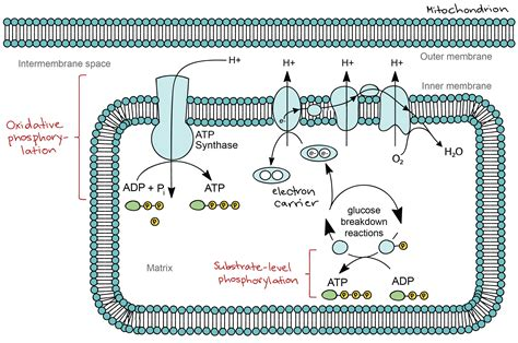 define cadena respiratoria mitocondrial why is the cell membrane called a phospholipid bilayer