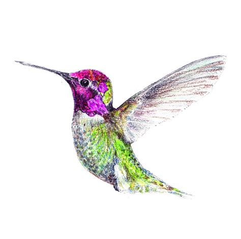 hummingbird drawings hummingbird drawing 69280