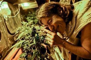testo l erba di grace in serra 600 piante di marijuana in arresto coppia di