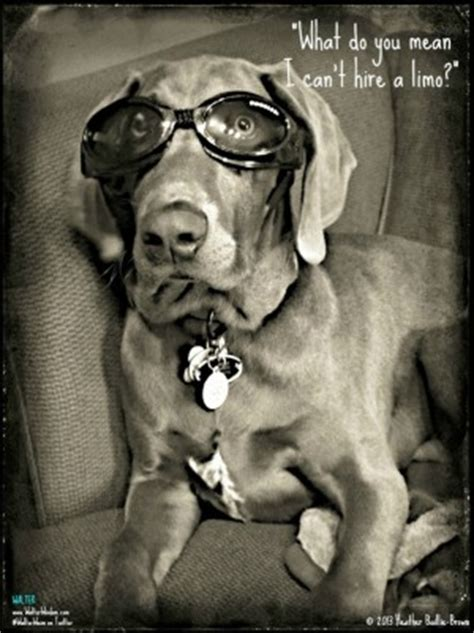 weimaraner love quotes quotesgram