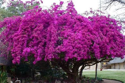 Gamis Bougenville bougainvillea tree plains lodge the blooming