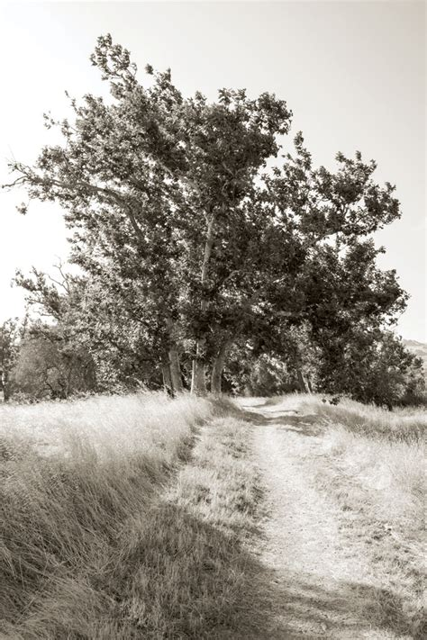 Why Do Sycamore Trees Shed Their Bark by Livermore S Western Sycamores Speak Of An California