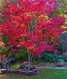 best 25 japanese maple trees ideas on pinterest