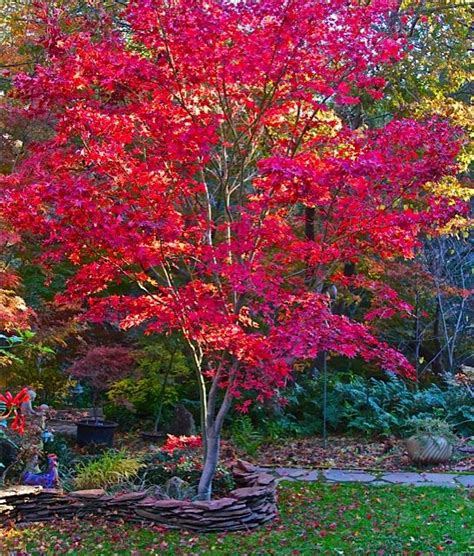fireglow japanese maple is one of the best upright japanese maple trees for hot sun exposure