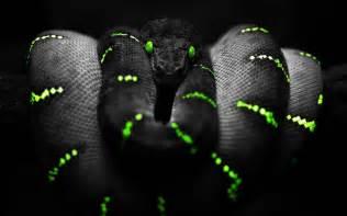Black mamba snake wallpaper