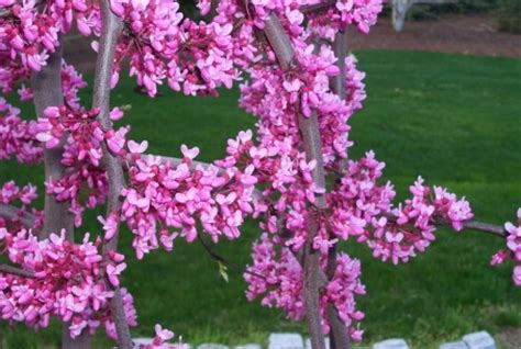 cercis lavender twist redbud weeping found in 1991 in connie covey s new york garden this