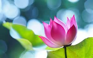 Size Of Lotus Flower Lotus Flower Beautiful High Quality Hd Wallpapers All Hd