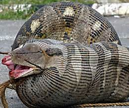 Snake Eating Woman Alive   www.pixshark.com   Images Galleries With A Bite!