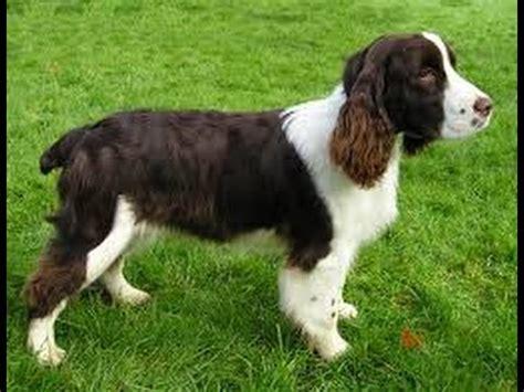 imagenes de english springer spaniel como criar el perro raza springer spaniel ingl 233 s tvagro