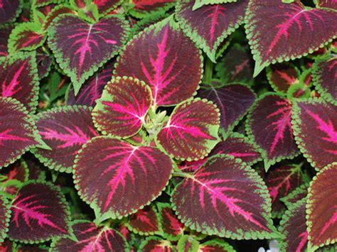 piante d appartamento piante da appartamento eccone tre dalle foglie colorate