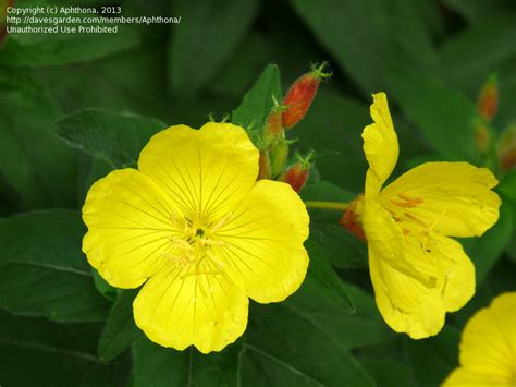 fireworks plymouth mi plantfiles pictures oenothera narrow leaf evening